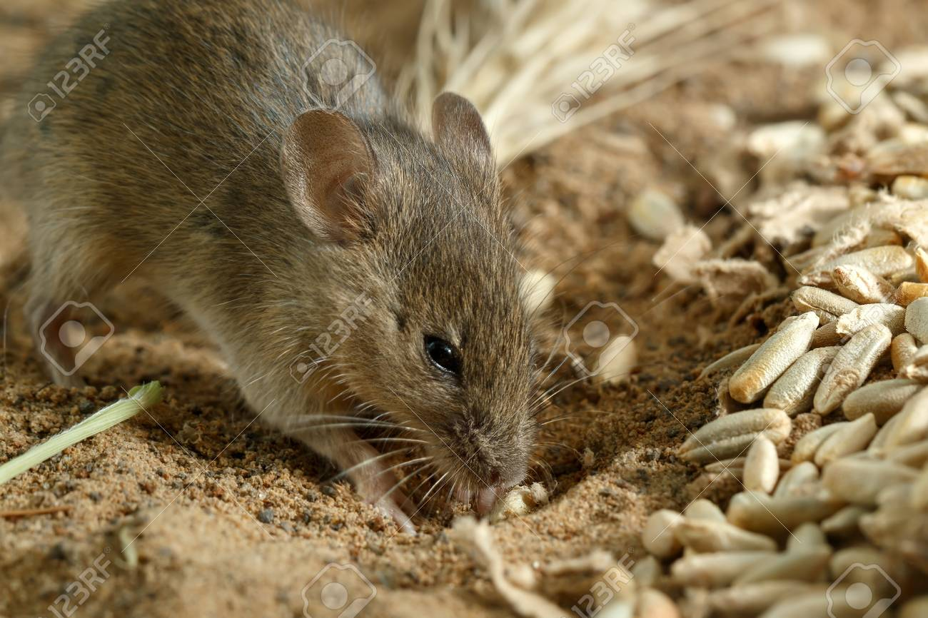 Closeup small  vole mouse digs a hole  near of grains of rye on the field. Fight with rodents. Standard-Bild - 89175939