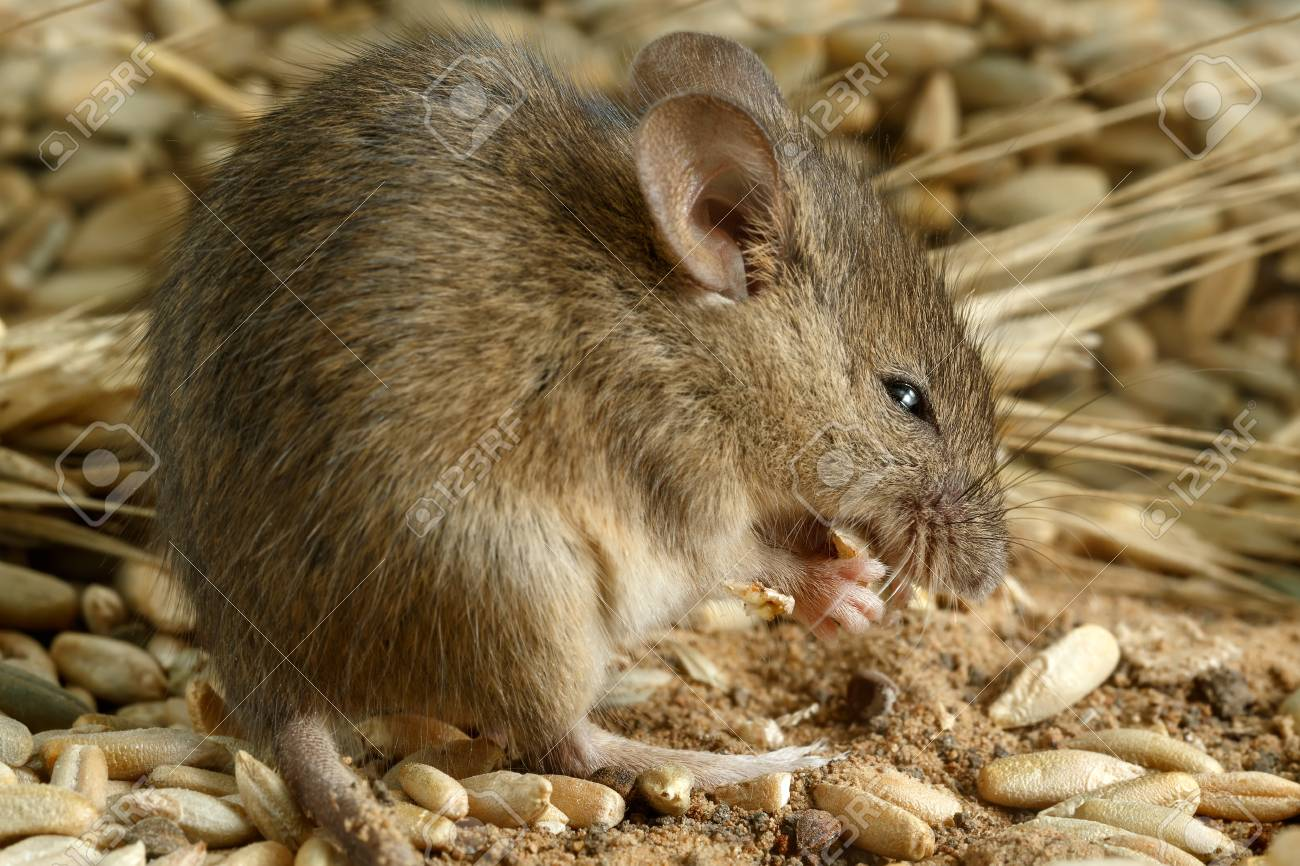 Closeup of a young mouse gnaws the grain of a rye inside a storehouse. Standard-Bild - 89539021