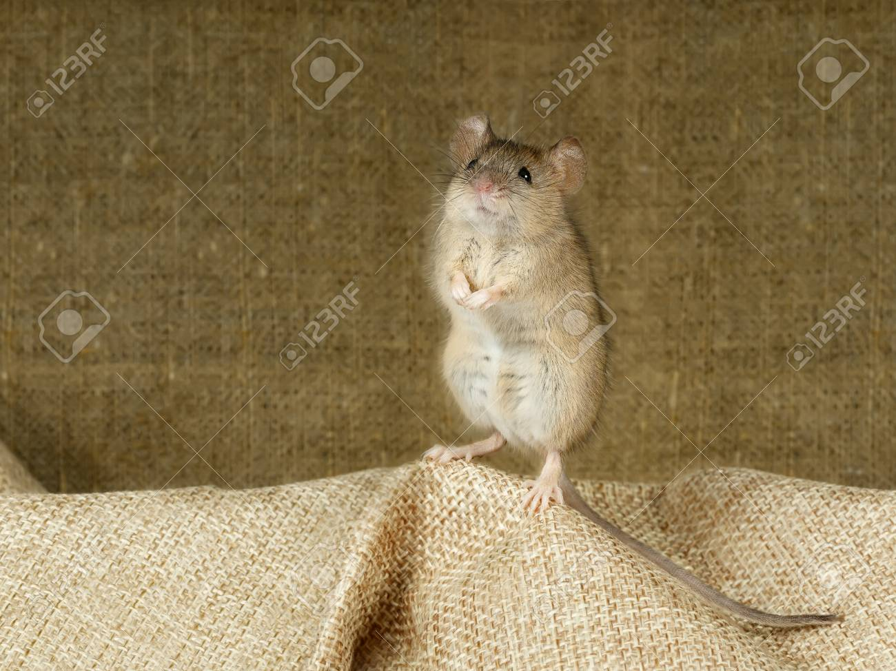 Closeup of the mouse stands on its hind paws on a small linen bag Standard-Bild - 91462310