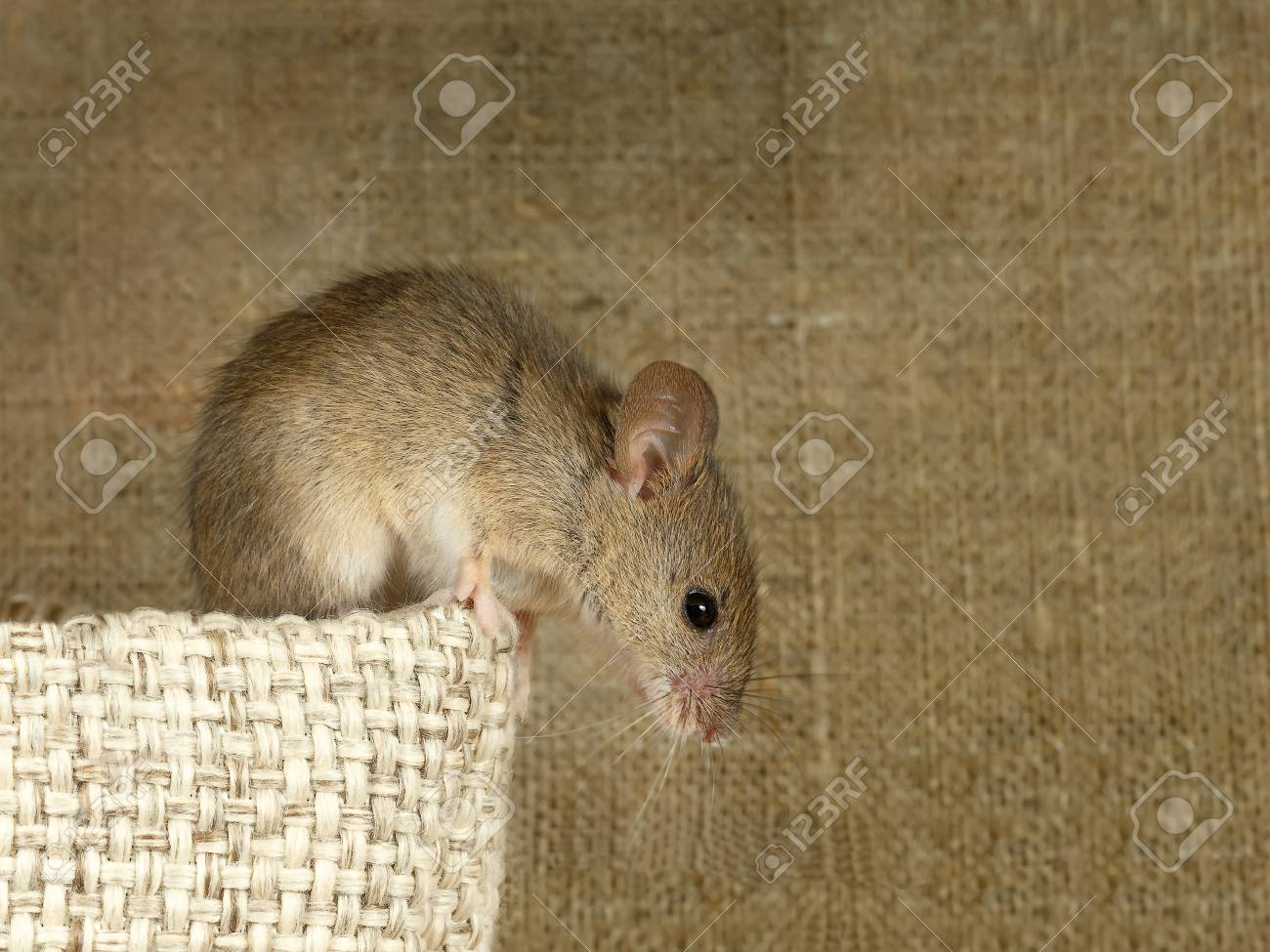 Closeup of a vole mouse sits on top of a linen sack and looks down on a background of the canvas. Inside storehouse. Rodents control concept. Standard-Bild - 91554313