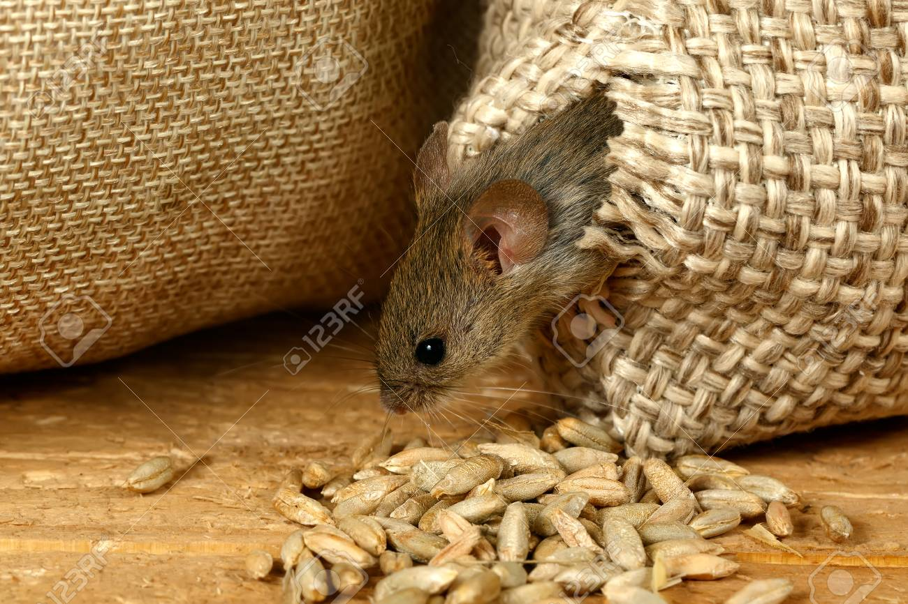 closeup the vole mouse gets out of the hole in the sack of grain in the  storehouse Standard-Bild - 92108581