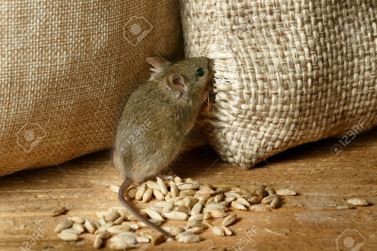 closeup the vole mouse gnaws the sack of grain in the  storehouse Standard-Bild - 92413964