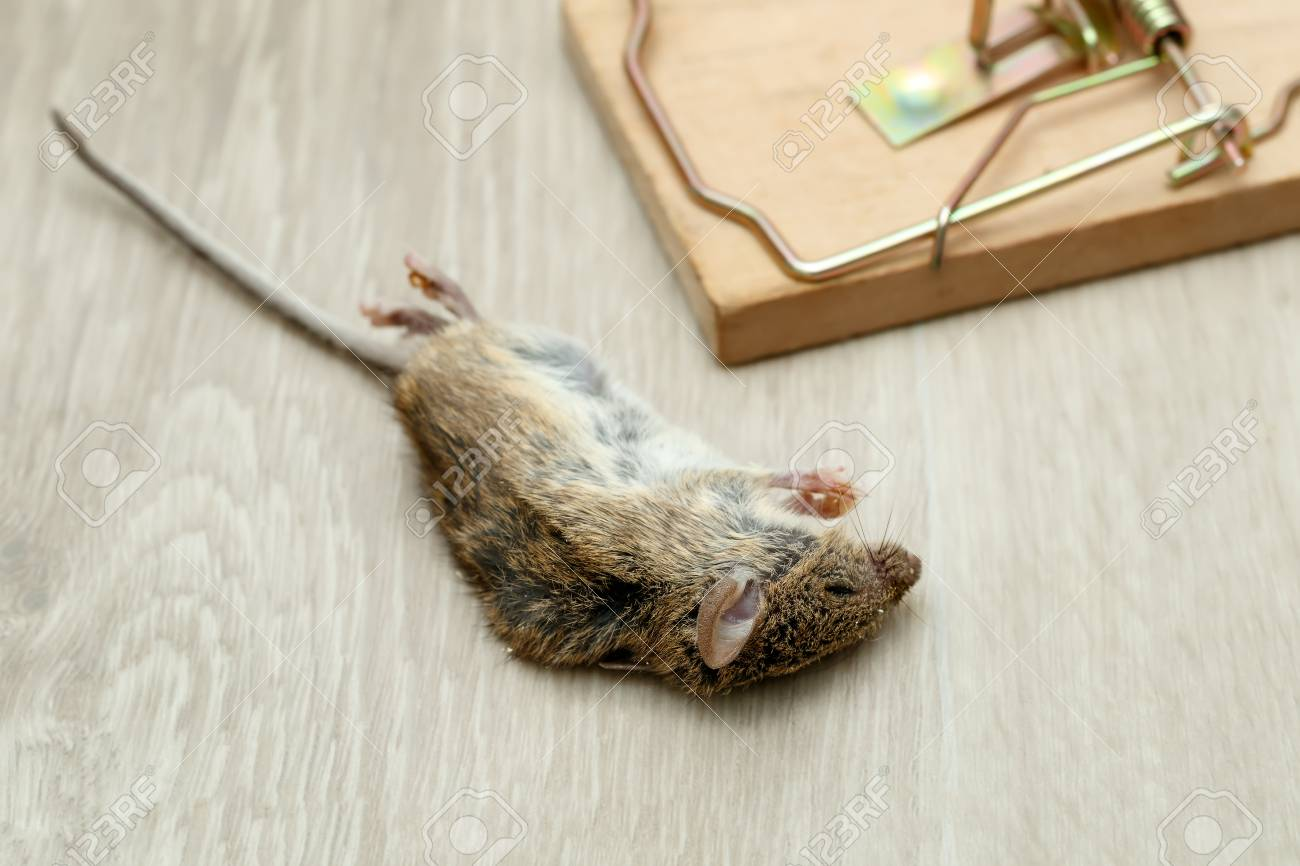 Closeup dead mouse near mouse trap on floor in house Standard-Bild - 92685054