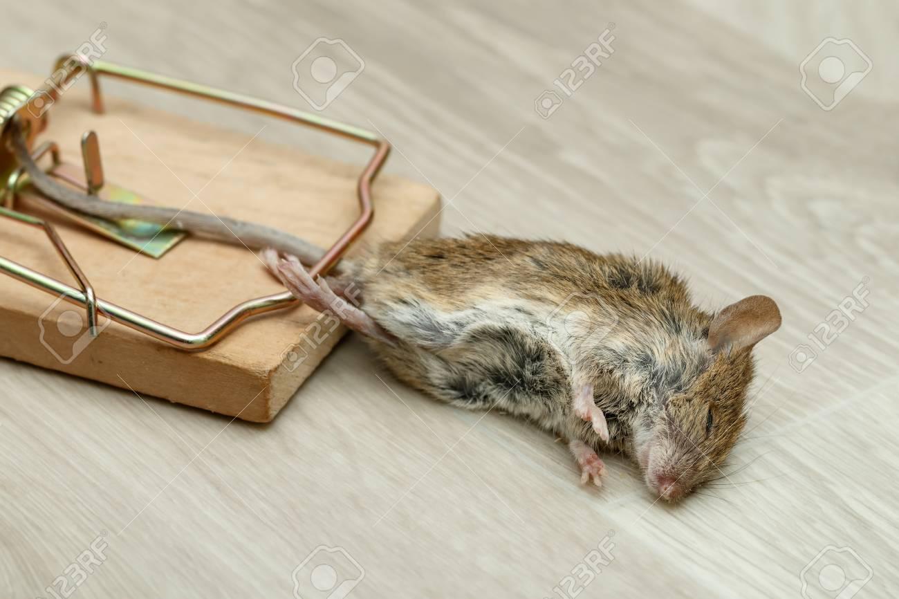 Closeup dead mouse caught in mouse trap Standard-Bild - 92685055