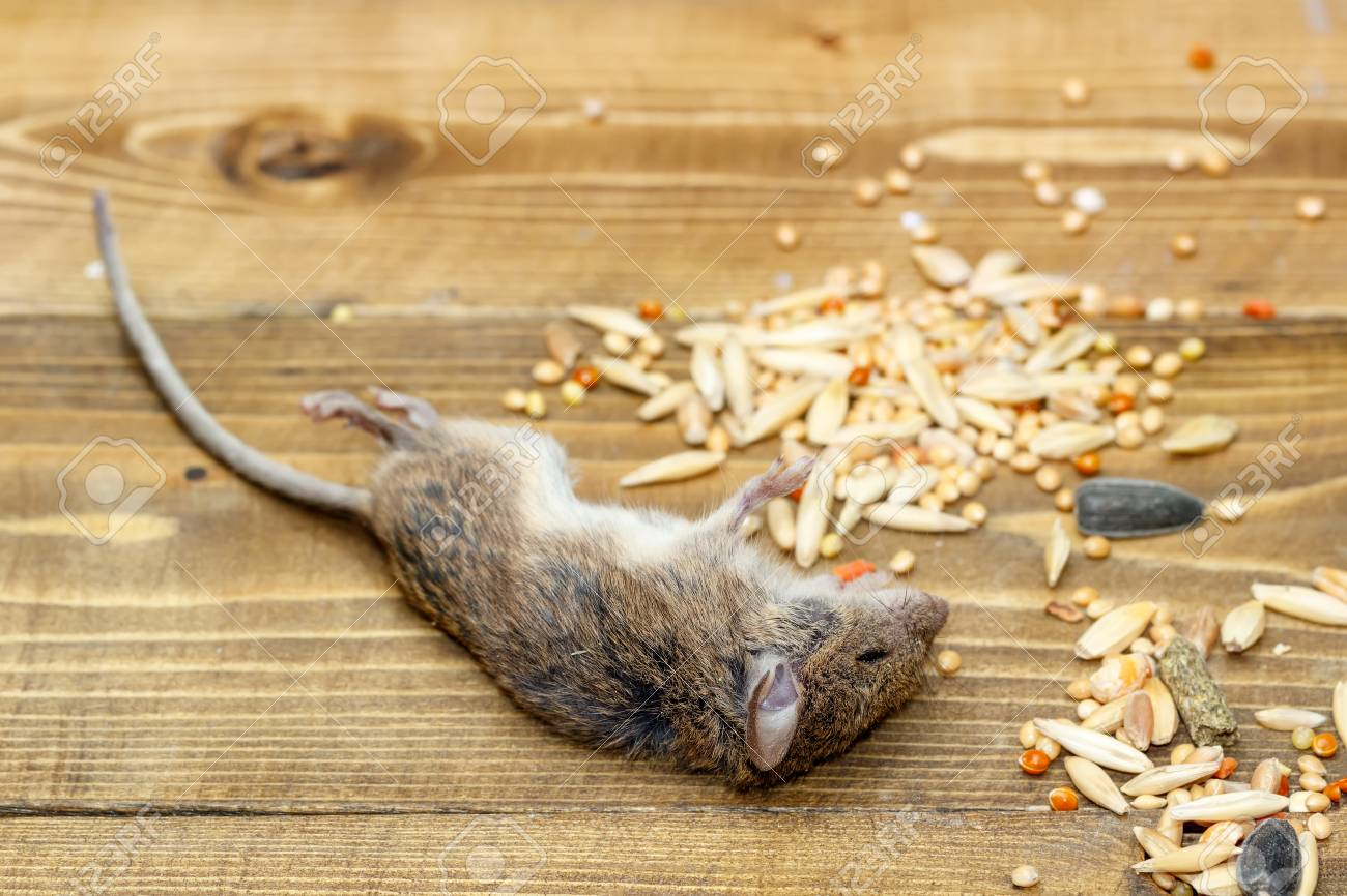 Closeup dead mouse on wooden   floor in storehouses near pile of grain Standard-Bild - 92729456