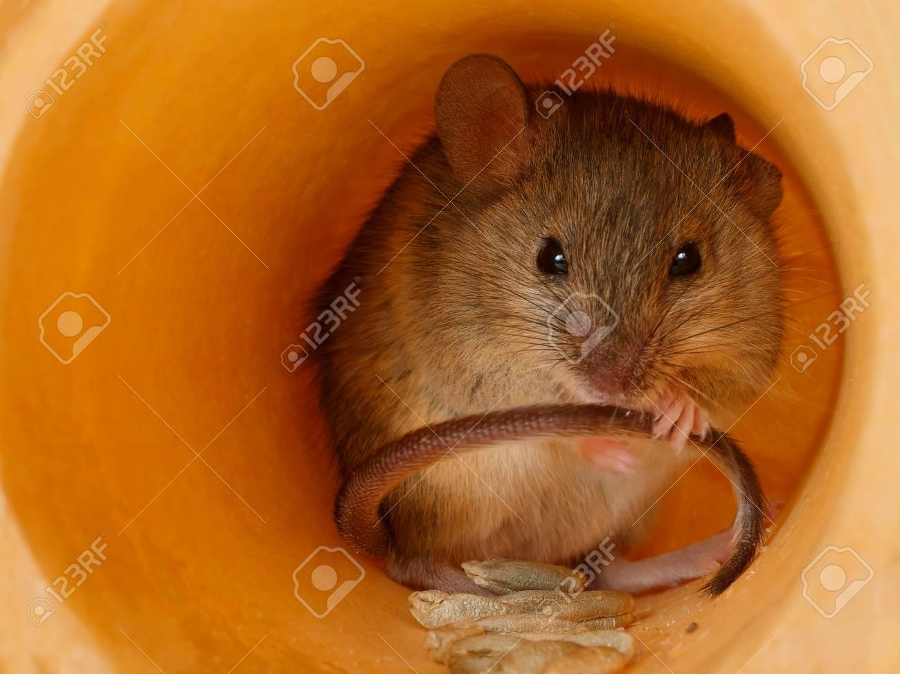 closeup mouse Standard-Bild - 93001722