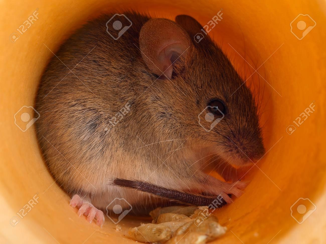 closeup field cute gray mouse (Apodemus) hides inside of hole Standard-Bild - 93063140