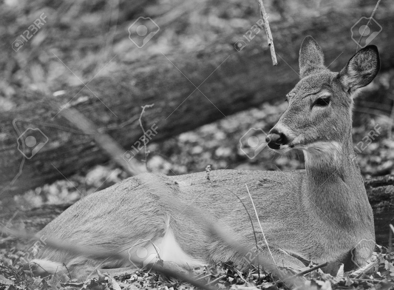 Black and white photo of a deer in the forest