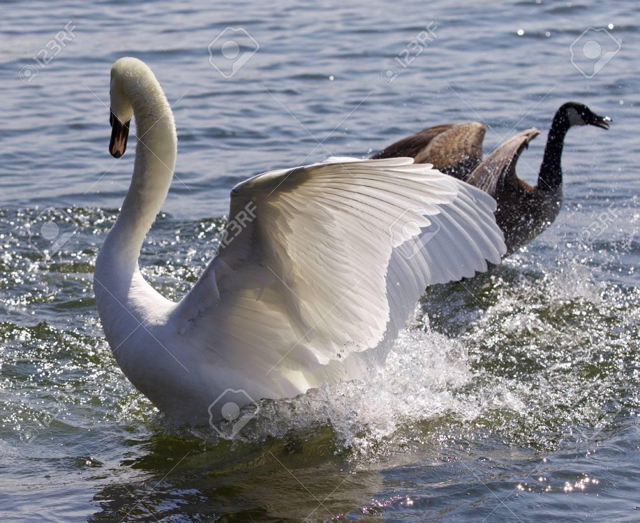 Fantastic contest between the powerful swan and the brave canada fantastic contest between the powerful swan and the brave canada goose stock photo 62966199 biocorpaavc Gallery