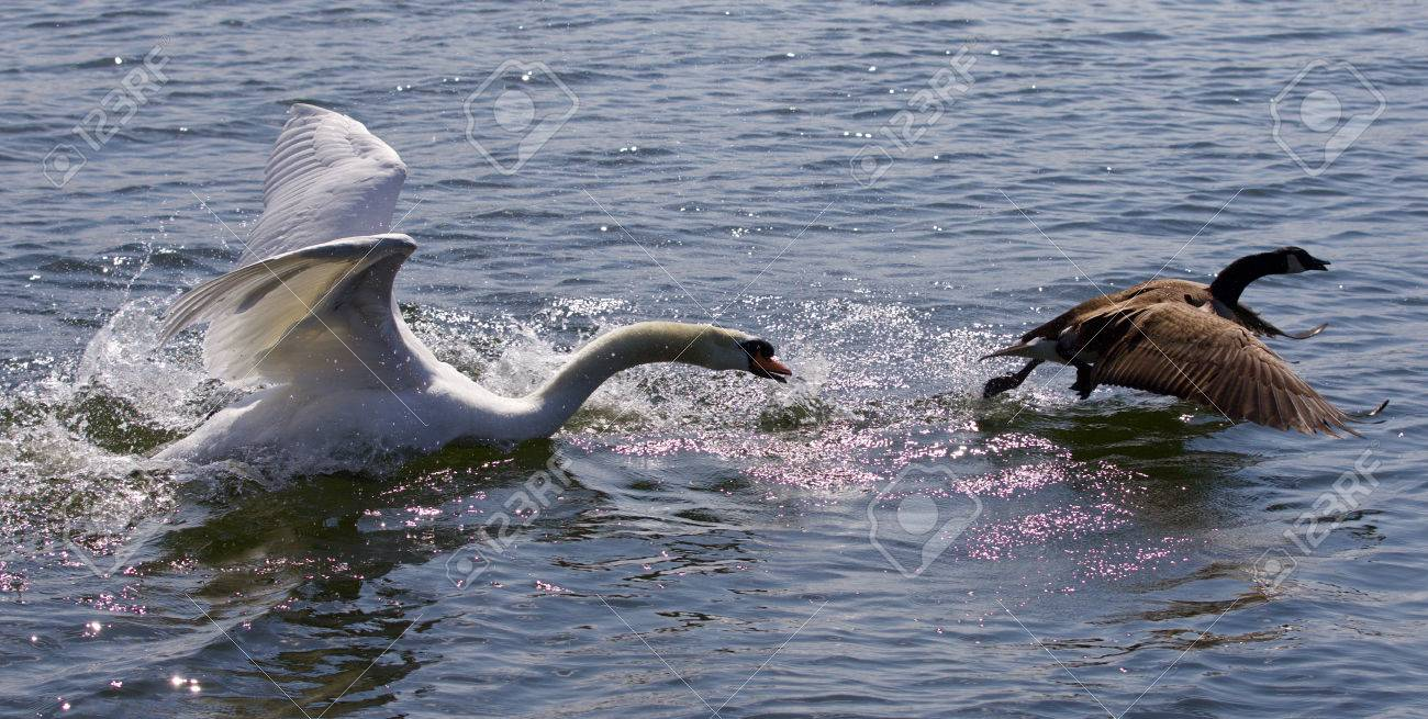 Amazing picture with the angry swan attacking the canada goose amazing picture with the angry swan attacking the canada goose stock photo 62966203 biocorpaavc