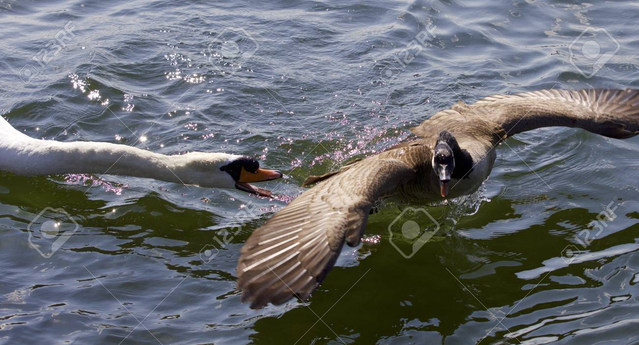 Amazing Image With An Angry Swan Attacking A Canada Goose Stock