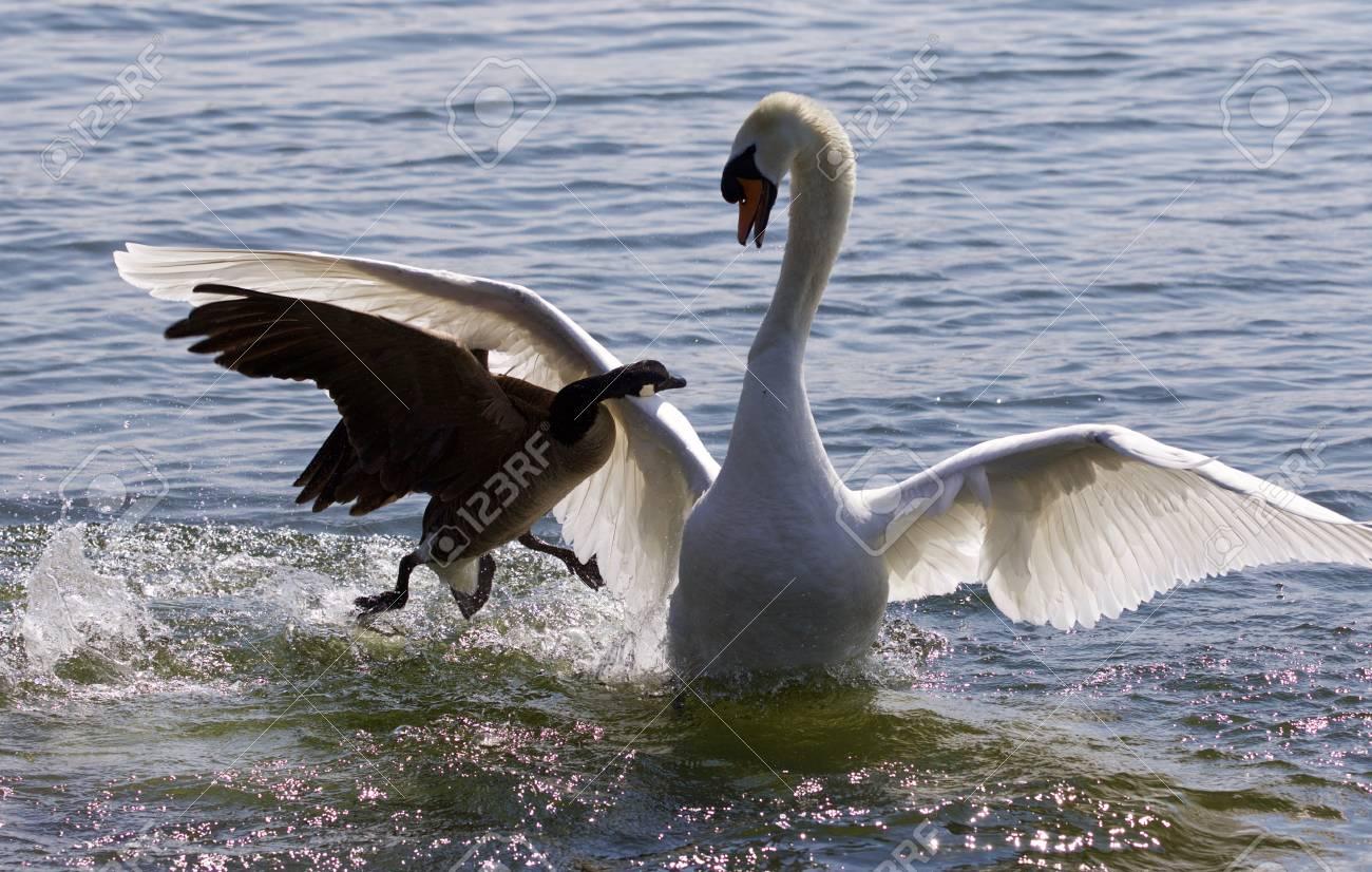 Fantastic amazing photo of the canada goose attacking the swan fantastic amazing photo of the canada goose attacking the swan on the lake stock photo biocorpaavc Gallery