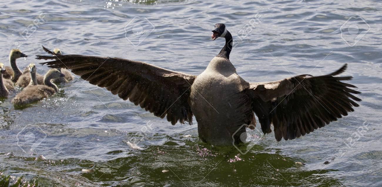 Beautiful isolated photo of a canada goose stock photo picture beautiful isolated photo of a canada goose stock photo 65246937 biocorpaavc Gallery