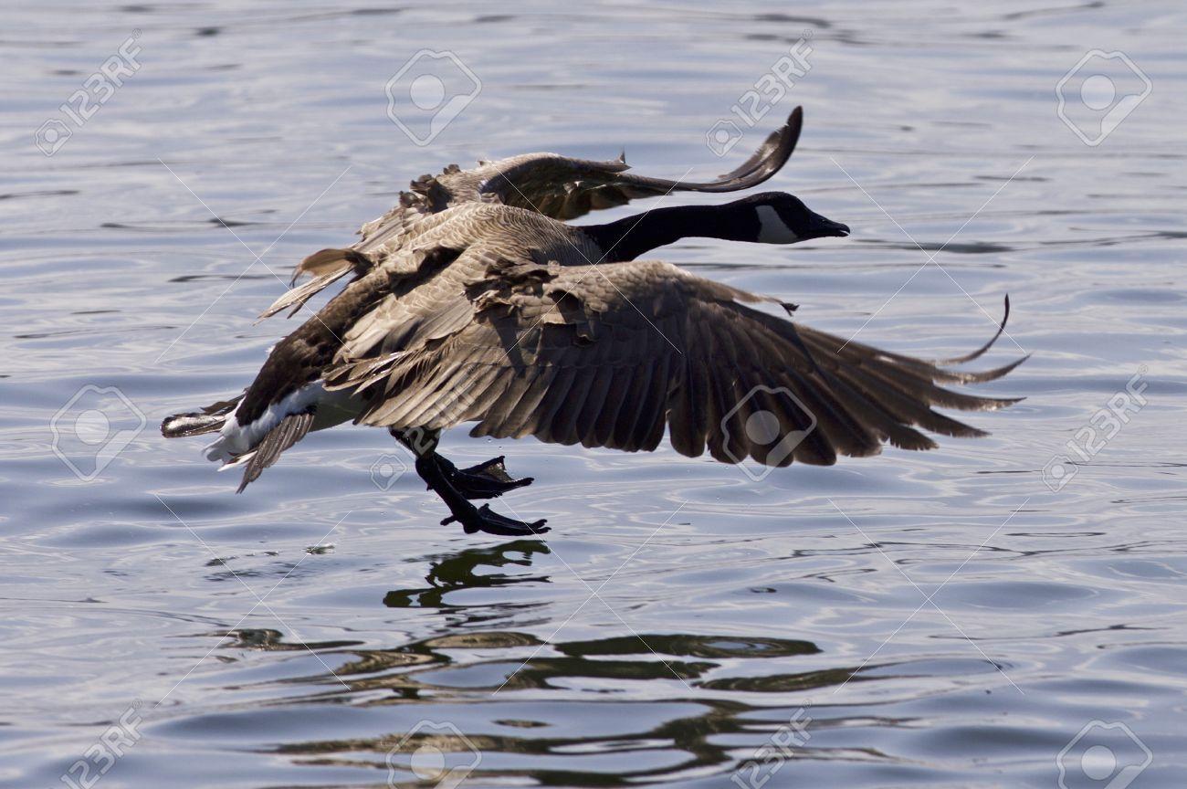 Beautiful isolated photo of a canada goose taking off from the beautiful isolated photo of a canada goose taking off from the water stock photo 70607664 biocorpaavc