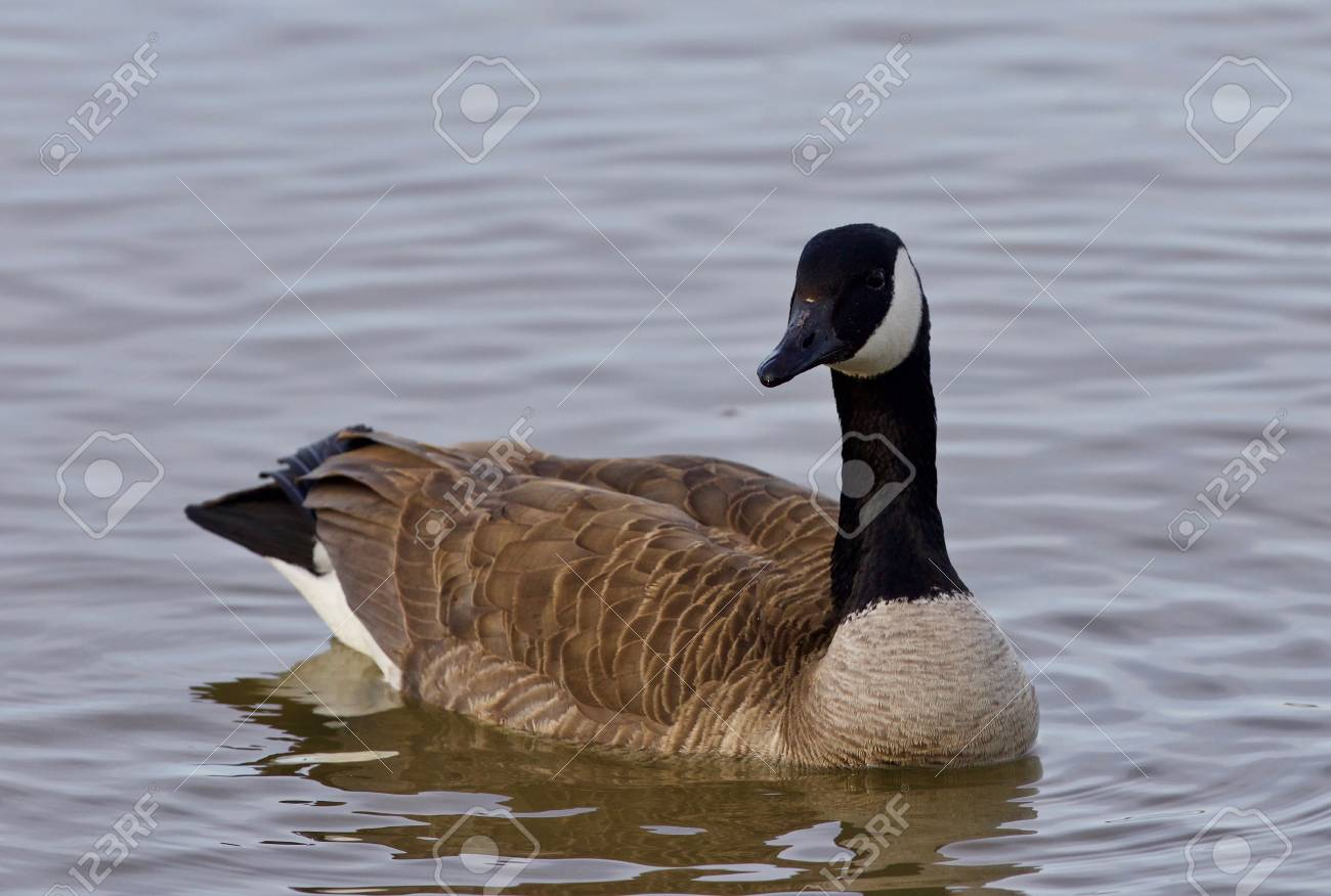 Beautiful Background With A Cute Canada Goose Stock Photo Picture