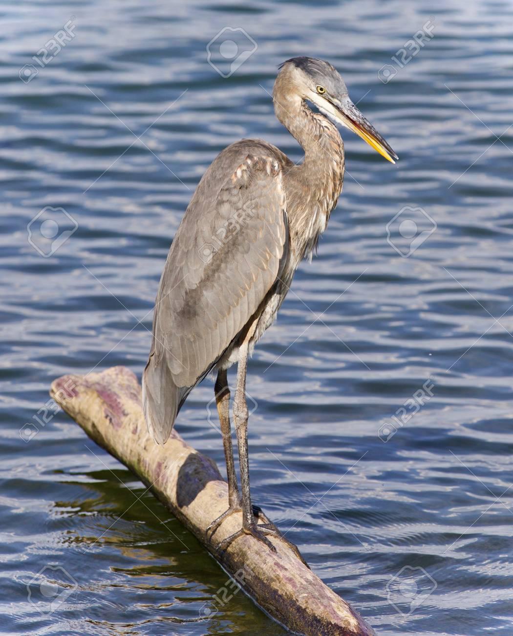 Great Blue Heron Standing