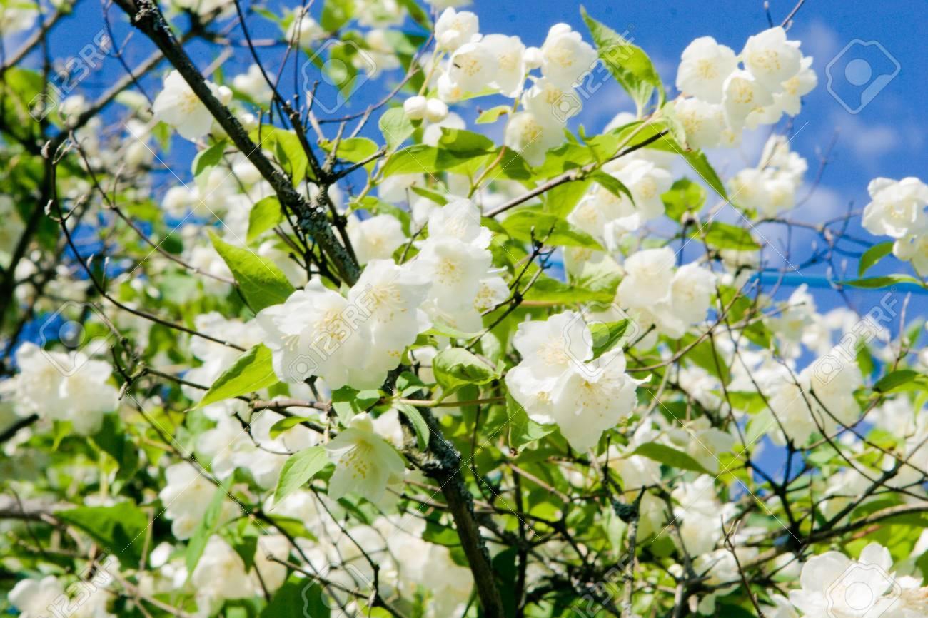 jasmine blossom - 7136746