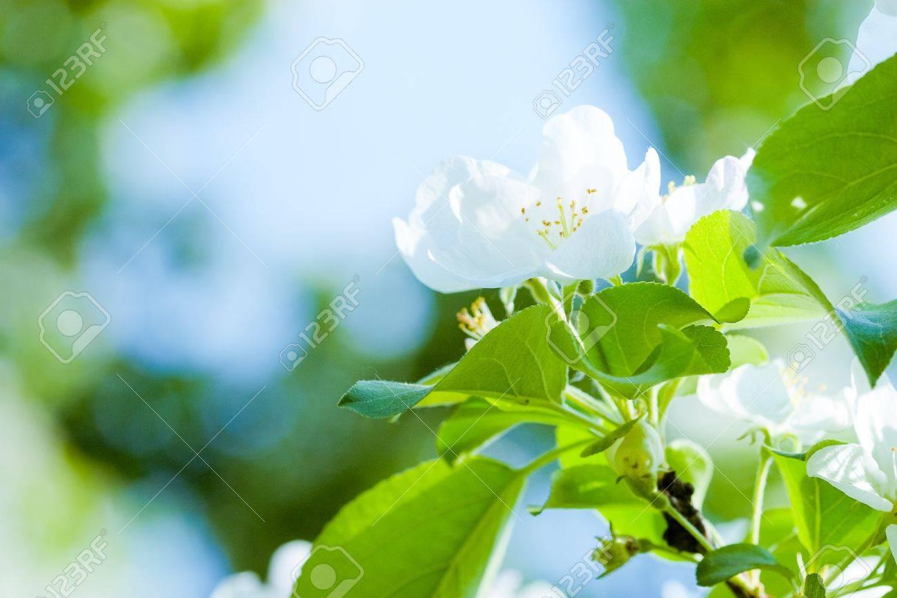 Flowers of apple tree - 9602515