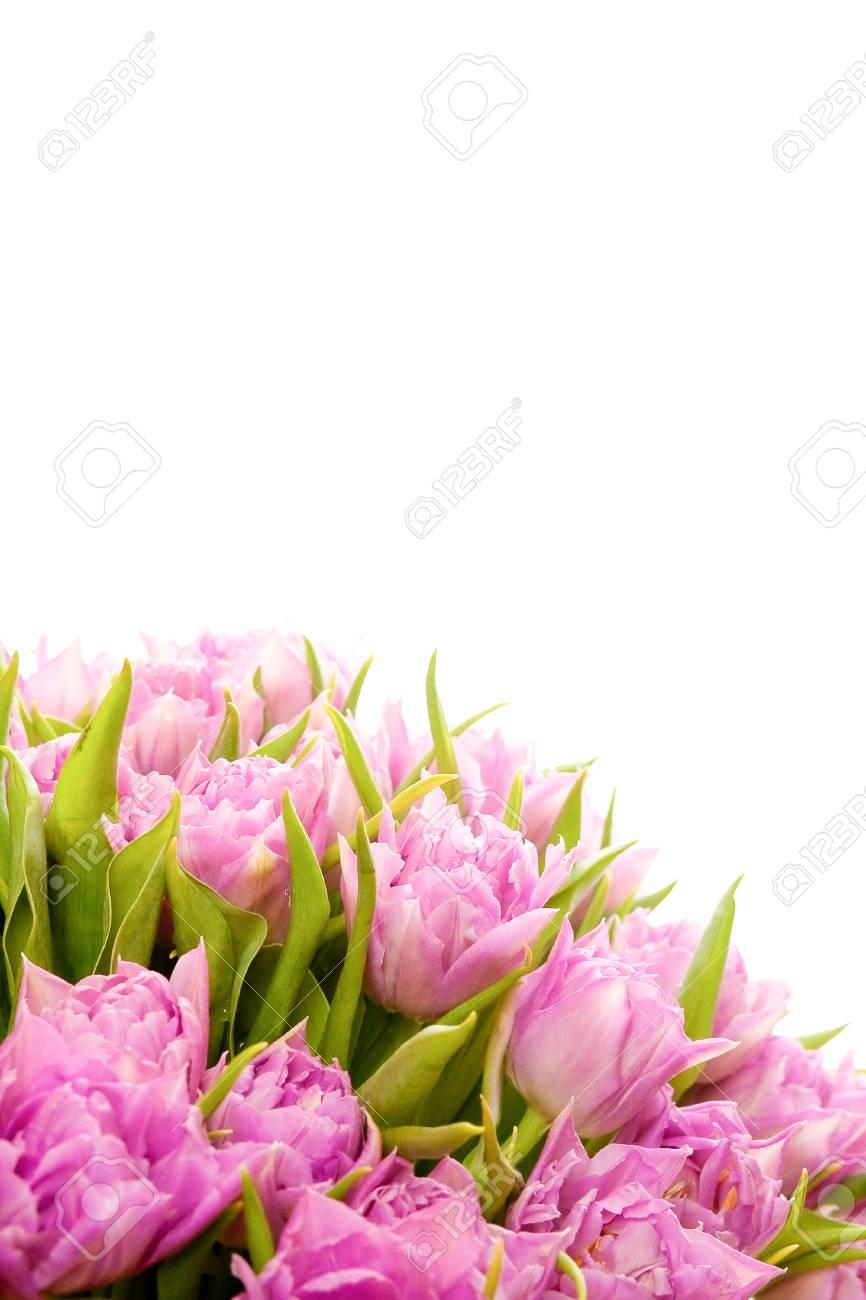 Beautiful purple tulips Stock Photo - 18598298