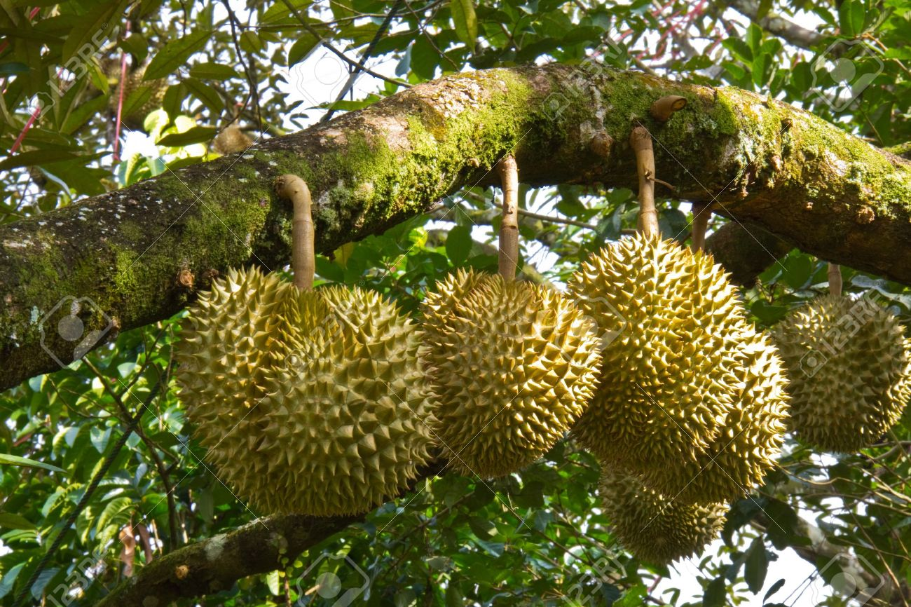 Pictures Of Durian Tree
