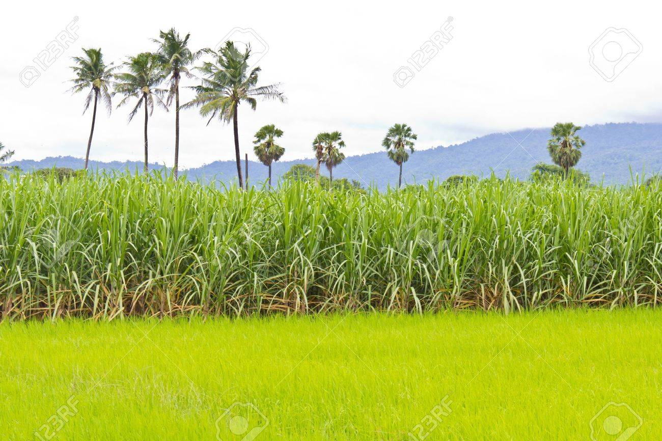 Sugarcane field next to rice field in cloudy sky - 10891879