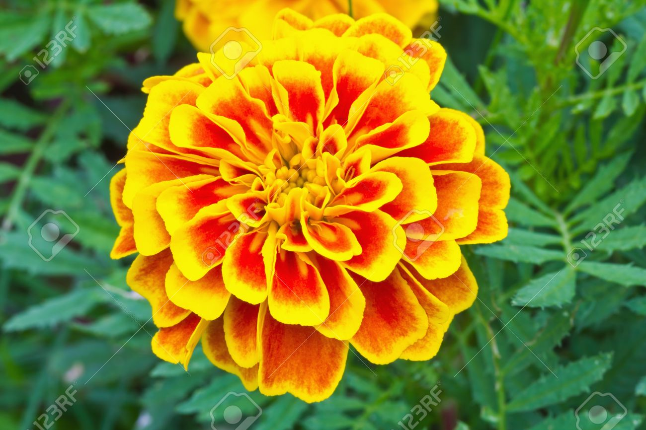 Top view of French marigold flower  Tagetes patula L Stock Photo - 14090324