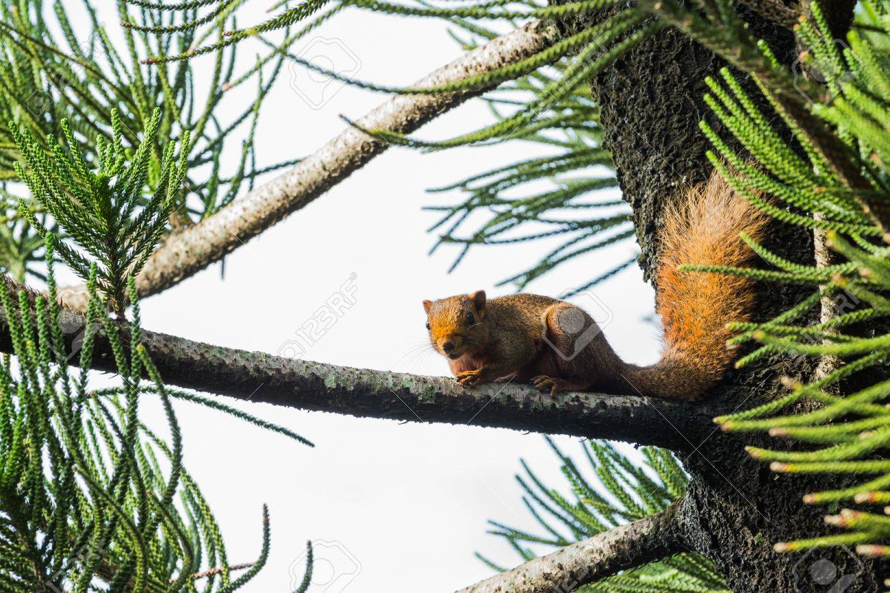 Asian red tree squirrel laying on branch of pine tree Stock Photo - 15735350