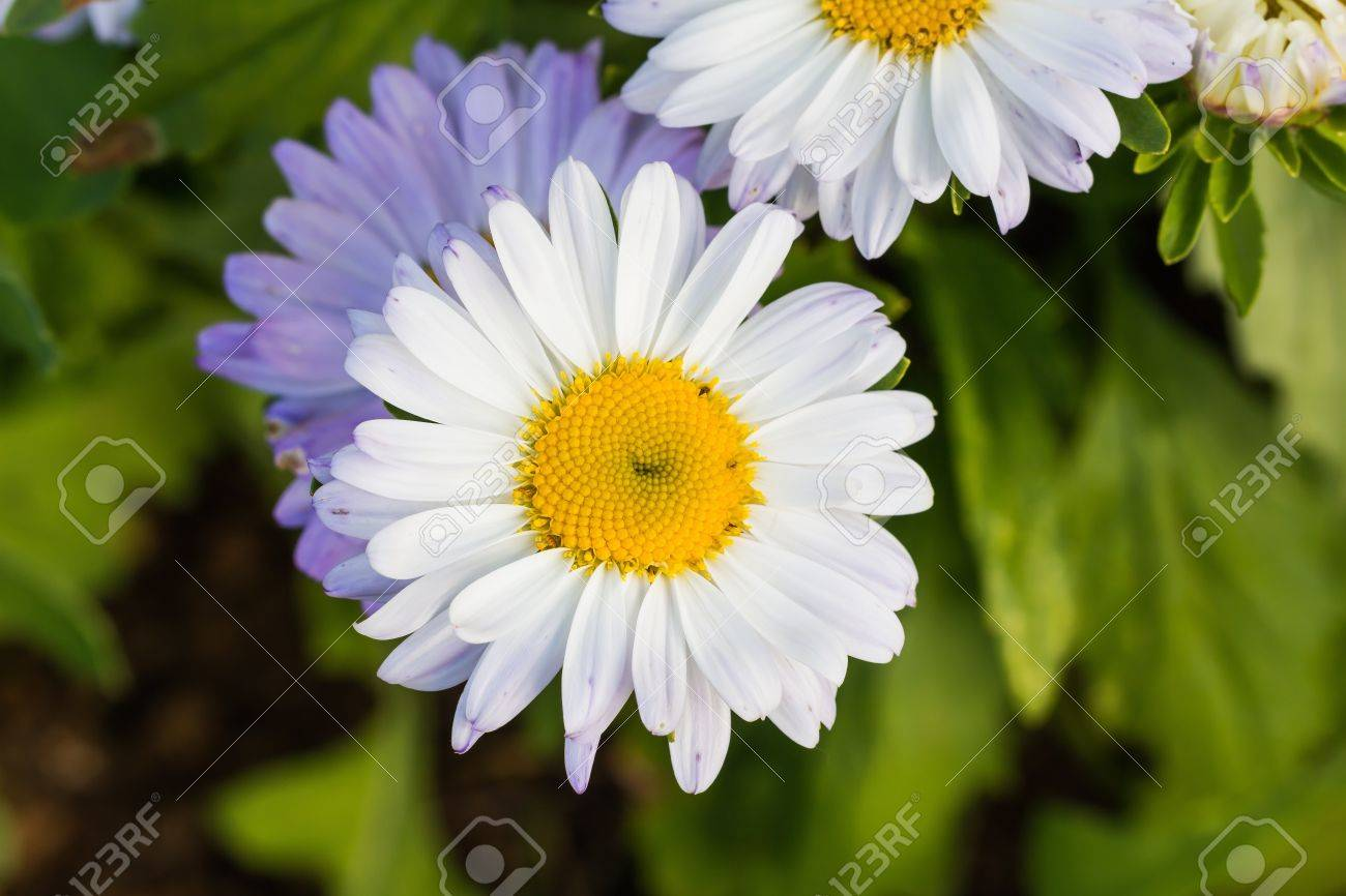 Luxury flower with white petals composition best evening gown close up of white daisy flower with white petals and yellow disc mightylinksfo