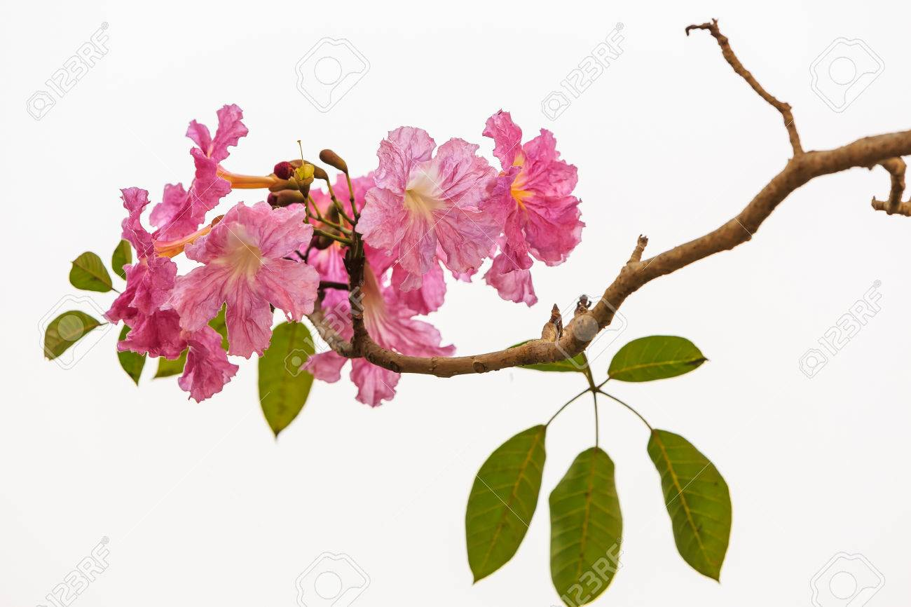 Close up of pink trumpet tabebuia rosea flower stock photo picture close up of pink trumpet tabebuia rosea flower stock photo 54907922 mightylinksfo