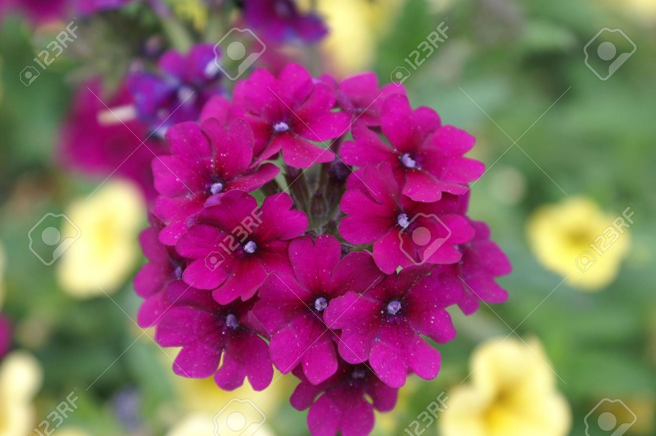 Dark pink flowers stock photo picture and royalty free image image dark pink flowers mightylinksfo