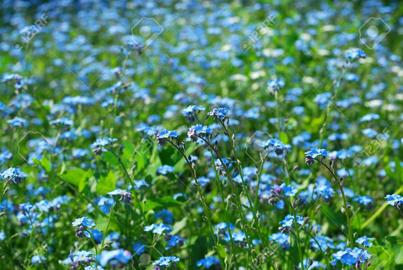 background with garden full of blue forget-me-not flowers
