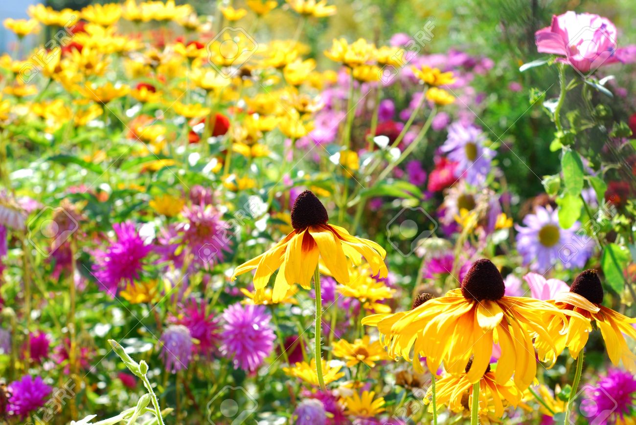 autumn flowers in the garden in sunny days stock photo, picture and