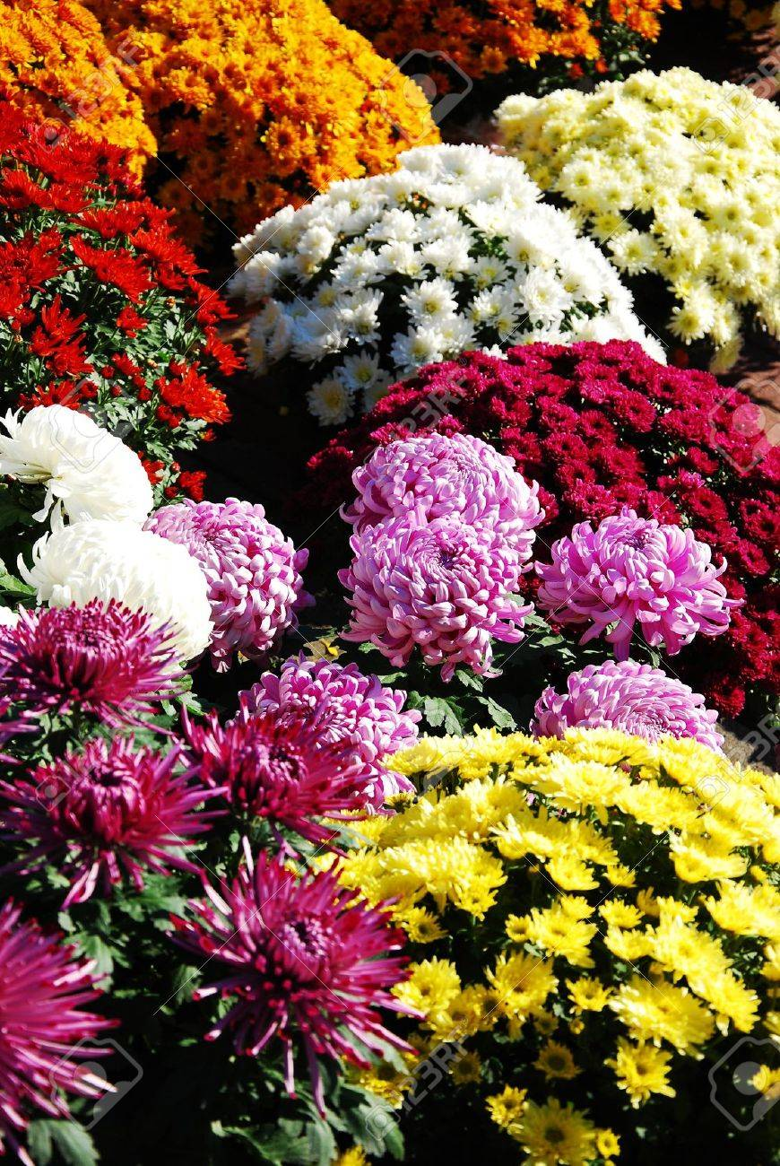 different colors and varieties of chrysanthemums - 15914943