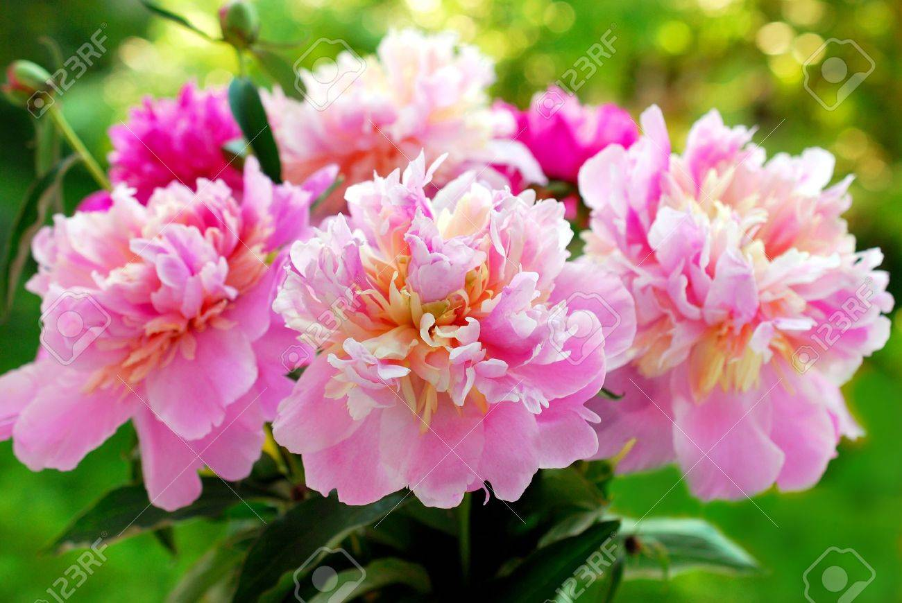 bunch of beautiful pink peony against green garden background - 20369435
