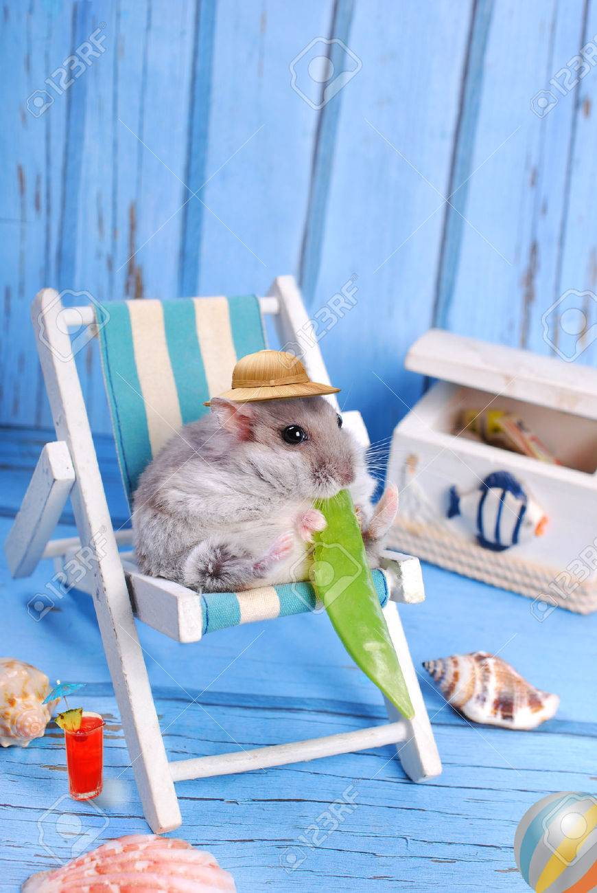 funny hamster wearing hat relaxing on deck chair and eating a pod of green peas - 30020443