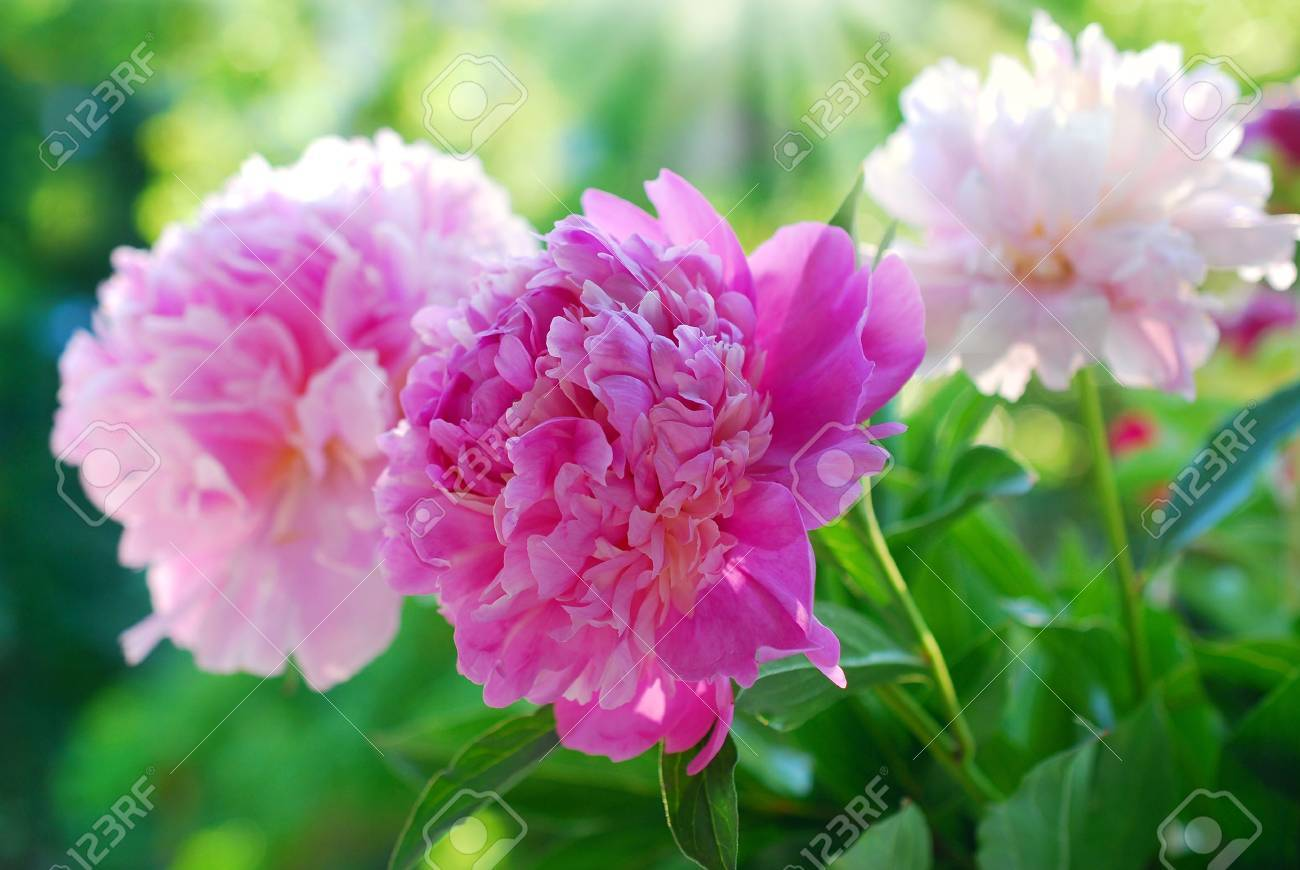 beautiful pink peony blooming in the garden - 41782003
