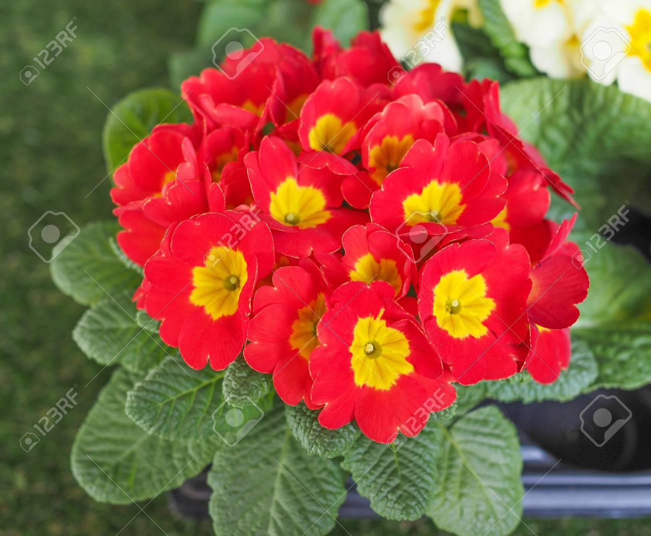 Red Primrose Aka Primula Are The First Flowers To Blossom In Stock