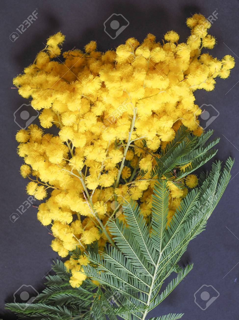 Yellow Mimosa Flowers Of Acacia Dealbata Plant Aka Silver Wattle