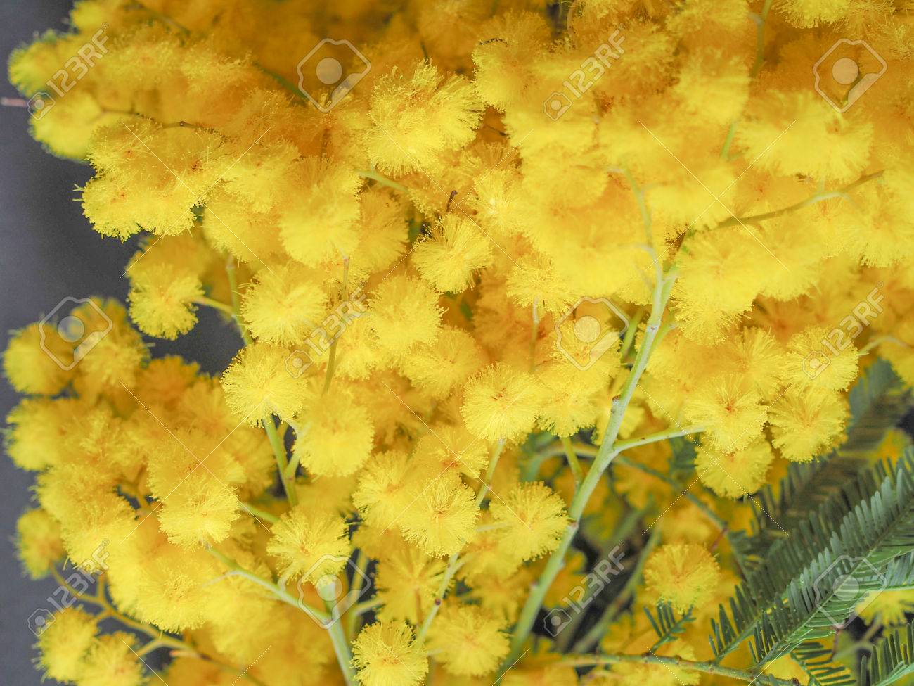 Yellow mimosa flowers of acacia dealbata plant aka silver wattle stock photo yellow mimosa flowers of acacia dealbata plant aka silver wattle blue wattle flower plant mightylinksfo