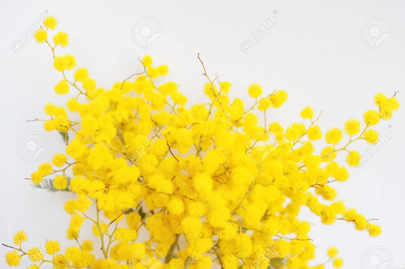 Yellow mimosa flowers of acacia dealbata plant aka silver wattle stock photo yellow mimosa flowers of acacia dealbata plant aka silver wattle blue wattle flower mightylinksfo