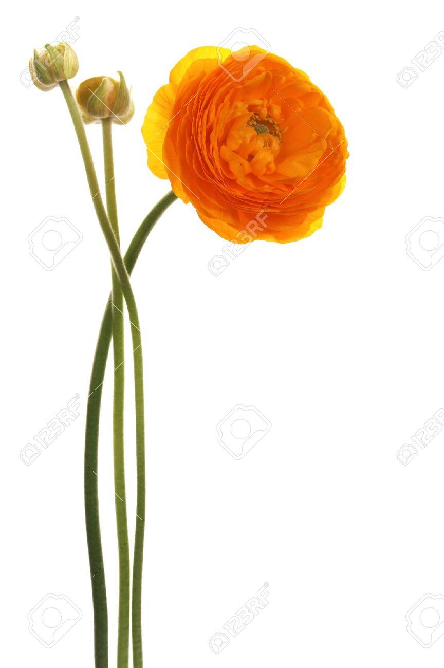 Beautiful orange flower on a white background stock photo picture beautiful orange flower on a white background mightylinksfo