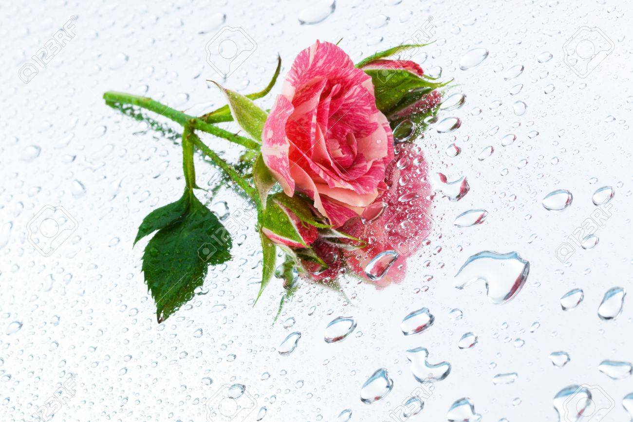 pink rose on the mirror with water drops Stock Photo - 8755387