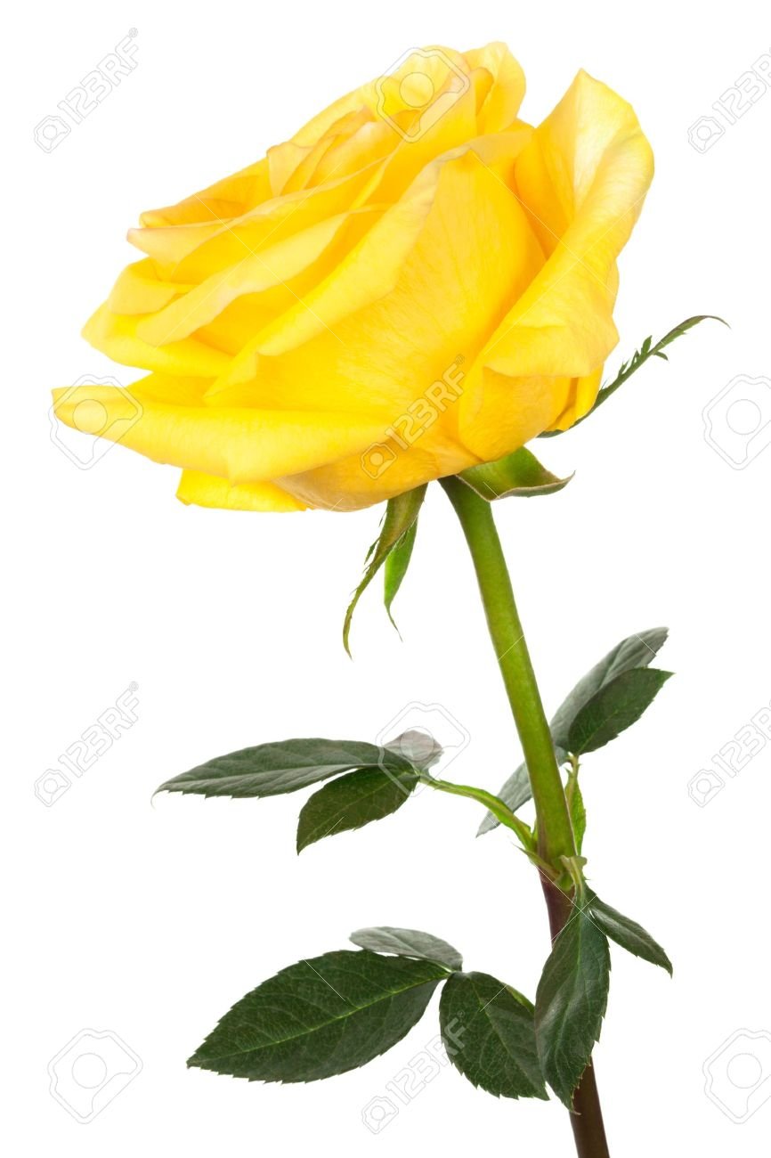 Yellow rose stock photos royalty free yellow rose images and pictures yellow rose single yellow rose on a white background stock photo dhlflorist Image collections