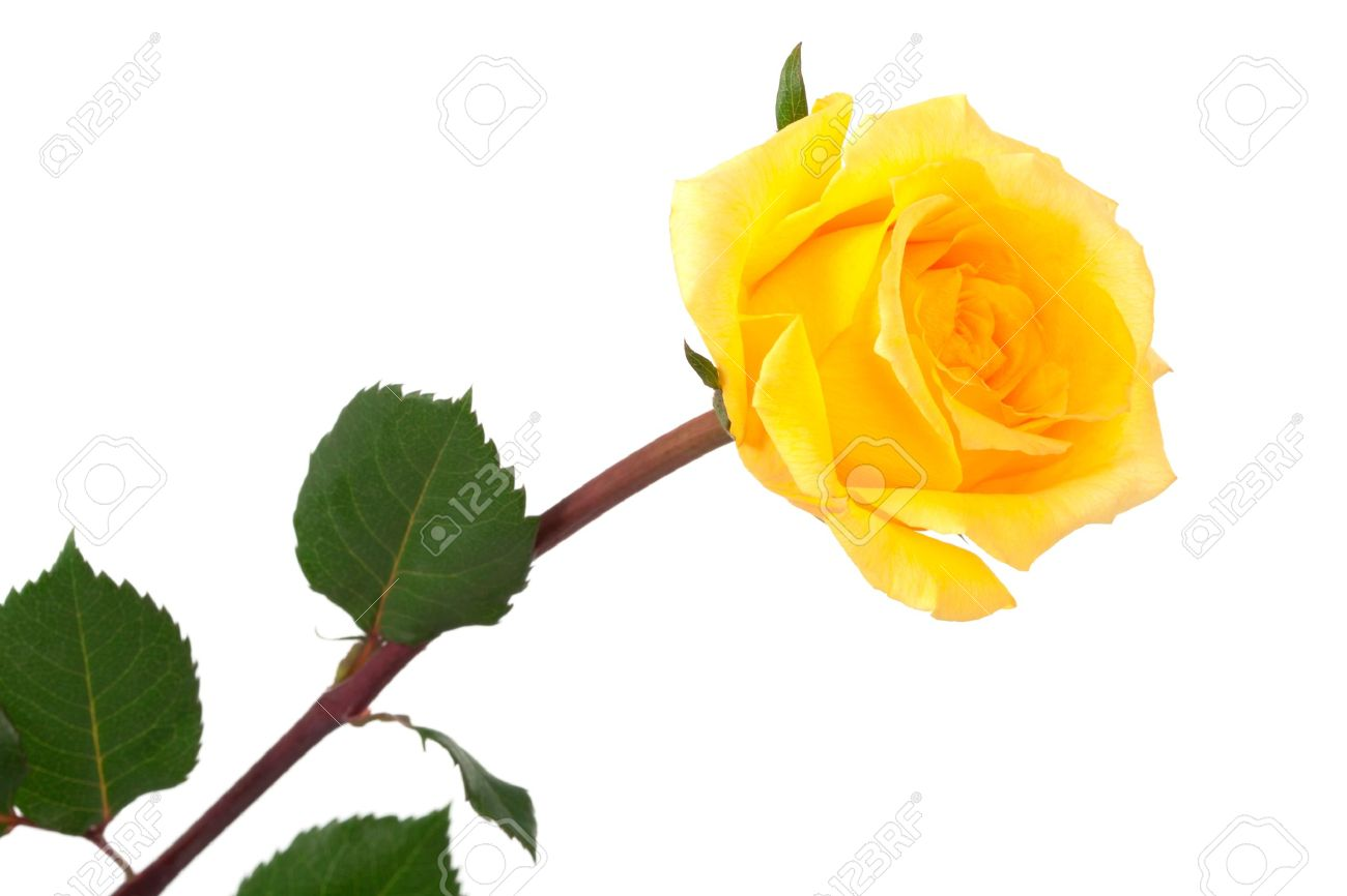 single yellow rose on a white background stock photo, picture and