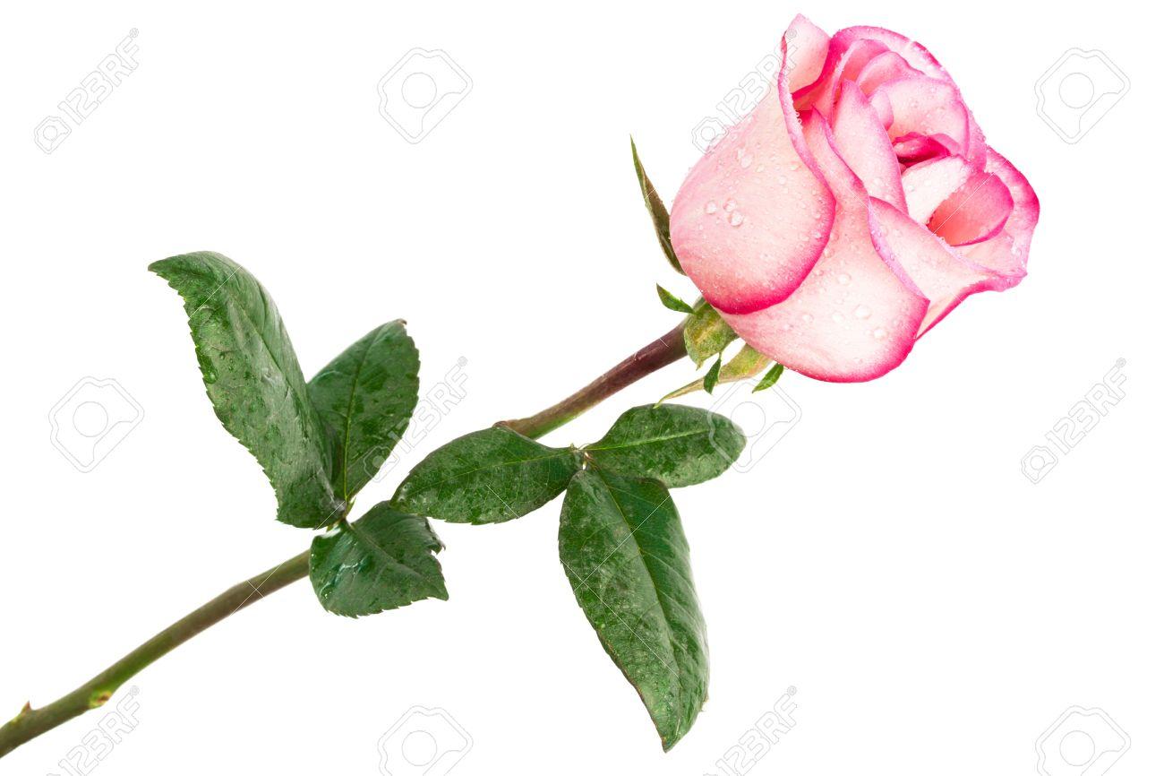 Single Pink Rose White Background