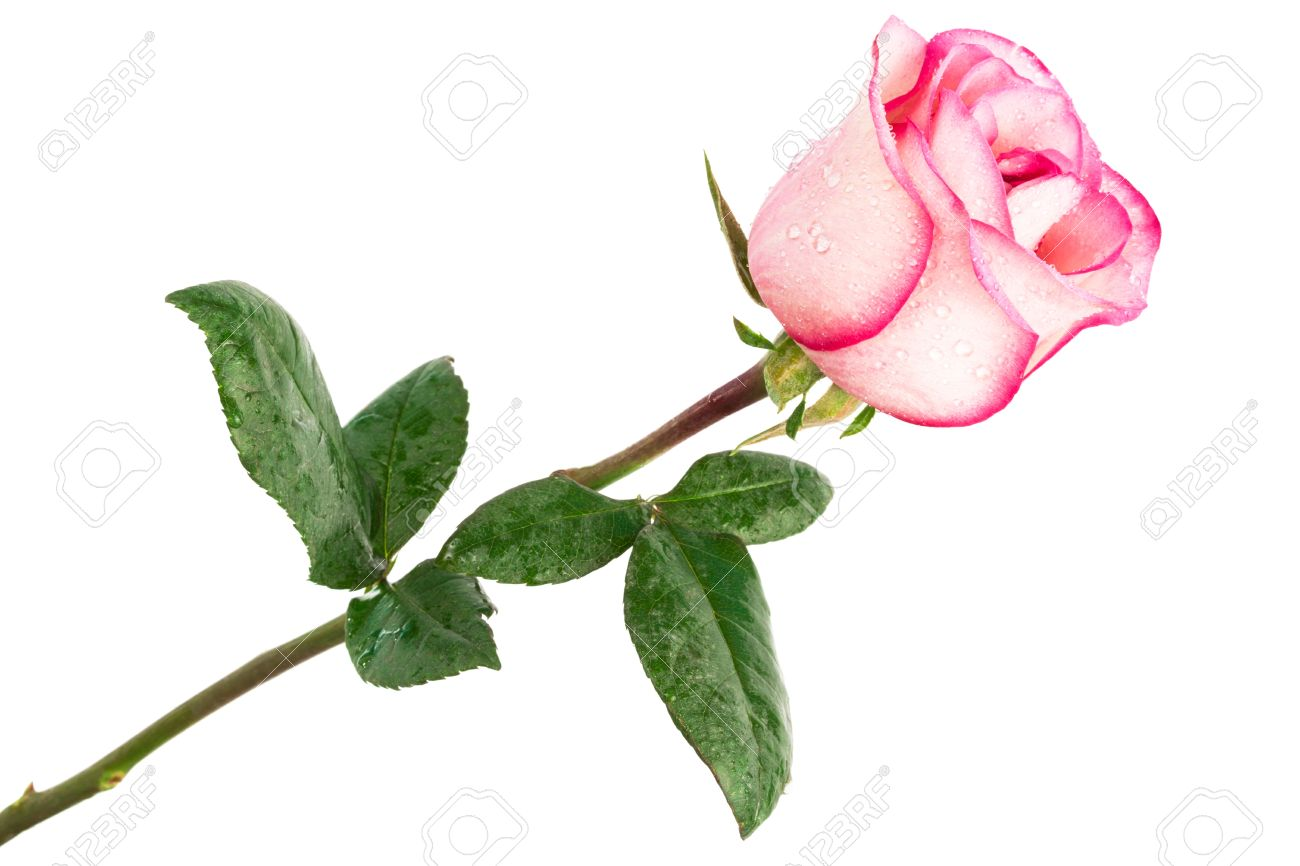 single pink rose on a white background Stock Photo - 13506018