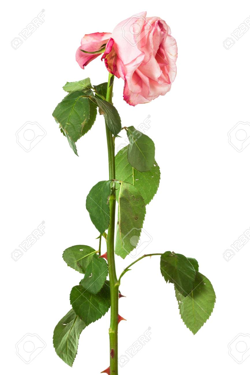 Single Faded Rose On A White Background Stock Photo Picture And Royalty Free Image Image 47057288