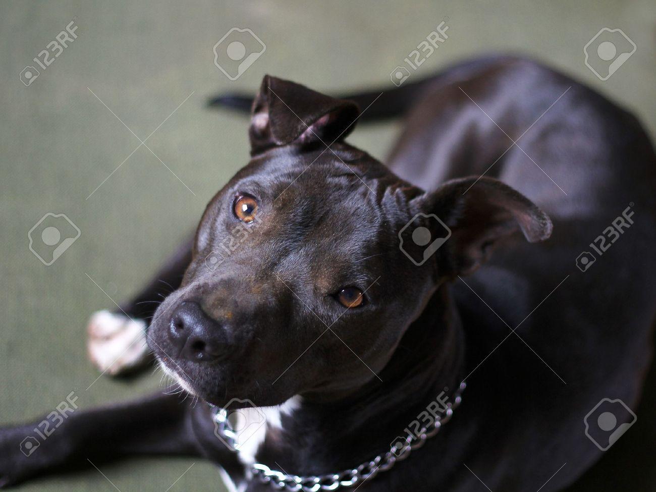 american pit-bull terrier Stock Photo - 9698898