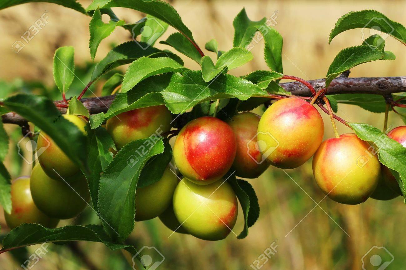 Yellow ripe Mirabelle Plums Stock Photo - 10106285