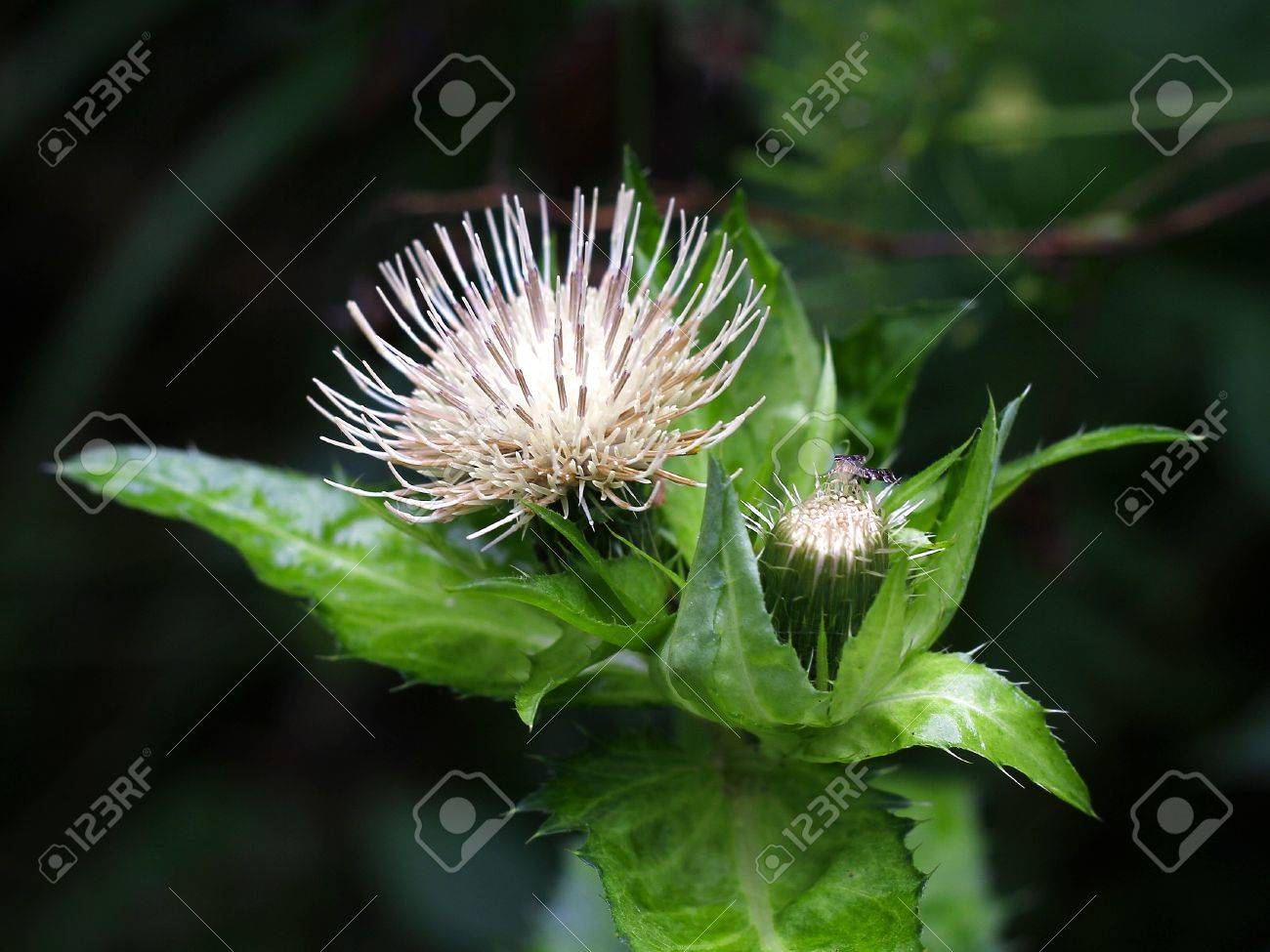 White Flower Thistle Stock Photo Picture And Royalty Free Image